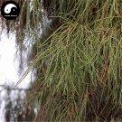 Buy Line Cypress Tree Seeds 120pcs Plant Chamaecyparis Pisifera Filifera