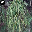 Buy Line Cypress Tree Seeds 60pcs Plant Chamaecyparis Pisifera Filifera