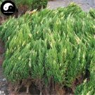 Buy Hinoki Cypress Tree Seeds 240pcs Plant Chamaecyparis Obtusa Hi-noki Tree