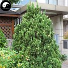 Buy Hinoki Cypress Tree Seeds 120pcs Plant Chamaecyparis Obtusa Hi-noki Tree