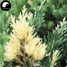 Buy Hinoki Cypress Tree Seeds 60pcs Plant Chamaecyparis Obtusa Hi-noki Tree