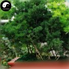 Buy Asparagus Myriocladus Cypress Tree Seeds 120pcs Plant Peng Lai Song