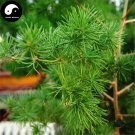 Buy Asparagus Myriocladus Cypress Tree Seeds 60pcs Plant Peng Lai Song