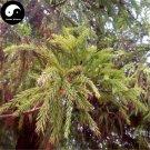 Buy Cryptomeria Fortunei Tree Seeds 240pcs Plant Cedar Tree Chinese Fir Liu Shan