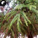 Buy Cryptomeria Fortunei Tree Seeds 120pcs Plant Cedar Tree Chinese Fir Liu Shan