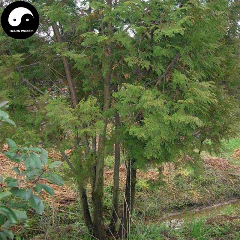 Buy Chamaecyparis Formosensis Matsum Tree Seeds 120pcs Plant Cedar Tree Hong Hui