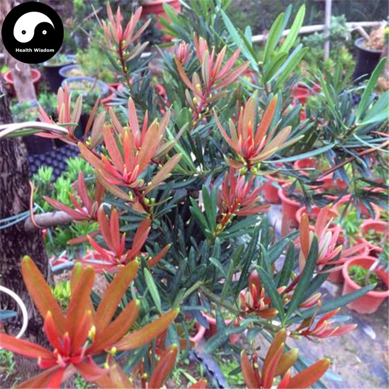 Buy Podocarpus Macrophyllus Tree Seeds 120pcs Plant Podocarpus Tree Luo Han Song