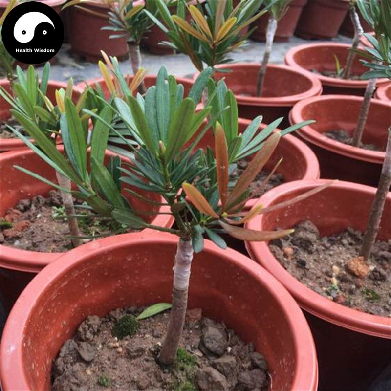 Buy Podocarpus Macrophyllus Tree Seeds 30pcs Plant Podocarpus Tree Luo Han Song