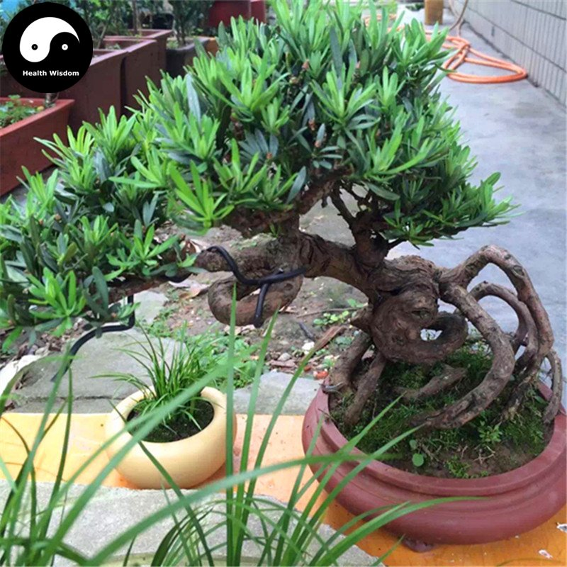 Buy Podocarpus Macrophyllus Tree Seeds 160pcs Plant Que She Luo Han Song