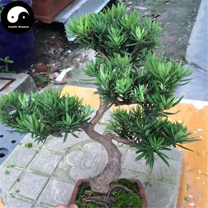 Buy Podocarpus Macrophyllus Tree Seeds 80pcs Plant Que She Luo Han Song