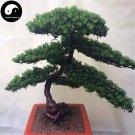Buy Podocarpus Macrophyllus Tree Seeds 40pcs Plant Que She Luo Han Song
