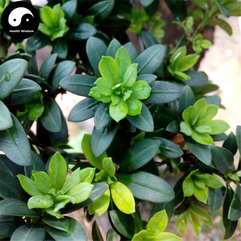 Buy Podocarpus Macrophyllus Tree Seeds 160pcs Plant Zhen Zhu Luo Han Song