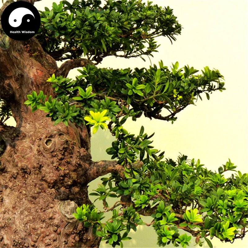 Buy Podocarpus Macrophyllus Tree Seeds 80pcs Plant Zhen Zhu Luo Han Song