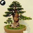 Buy Podocarpus Macrophyllus Tree Seeds 40pcs Plant Zhen Zhu Luo Han Song
