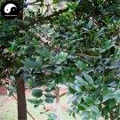 Buy Podocarpus Macrophyllus Tree Seeds 120pcs Plant Podocarpus Tree Zhu Bai