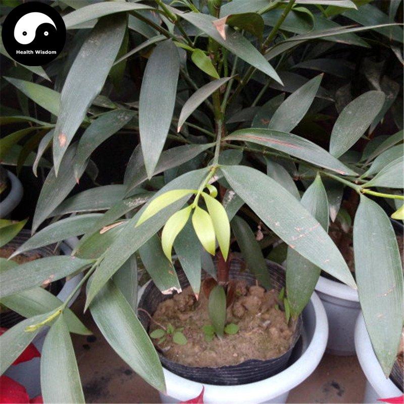 Buy Podocarpus Macrophyllus Tree Seeds 30pcs Plant Podocarpus Tree Zhu Bai