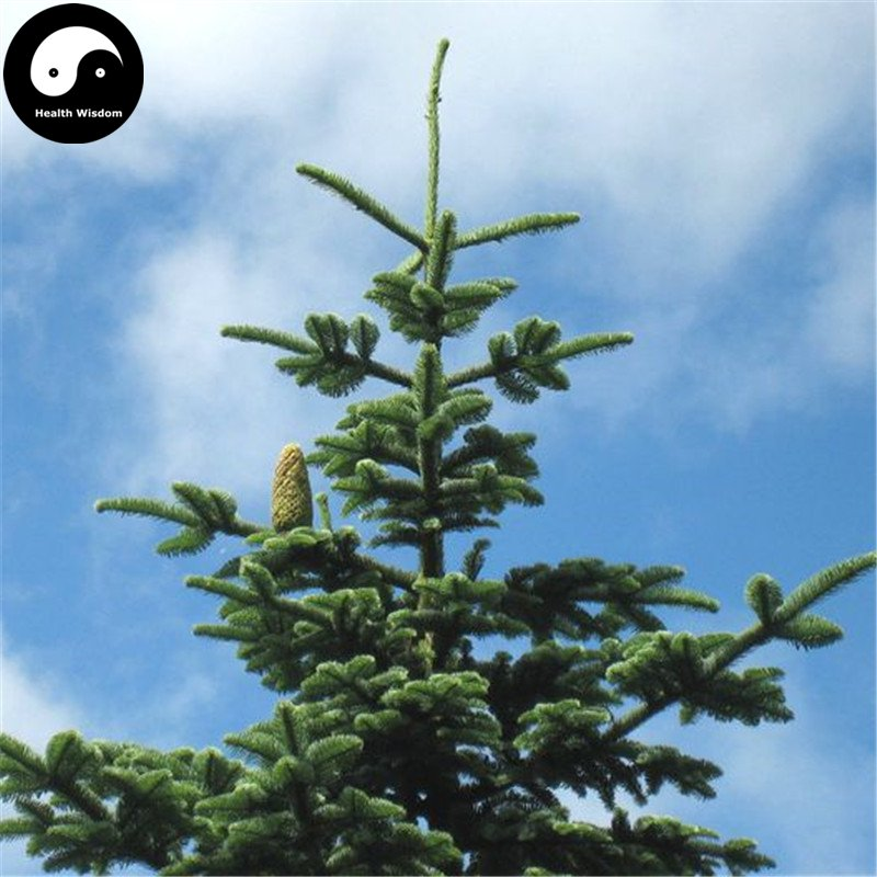 Buy Abies Delavayi Fir Tree Seeds 60pcs Plant Abies Fabri Tree Leng Shan
