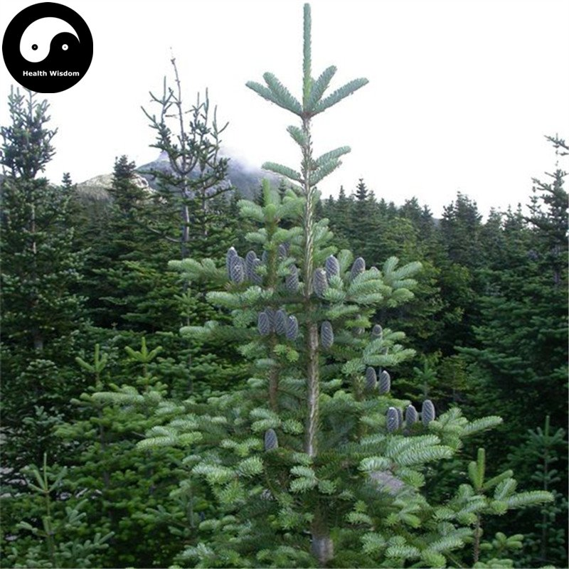 Buy Abies Delavayi Fir Tree Seeds 120pcs Plant Abies Fabri Tree Leng Shan