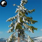 Buy Abies Delavayi Fir Tree Seeds 240pcs Plant Abies Fabri Tree Leng Shan