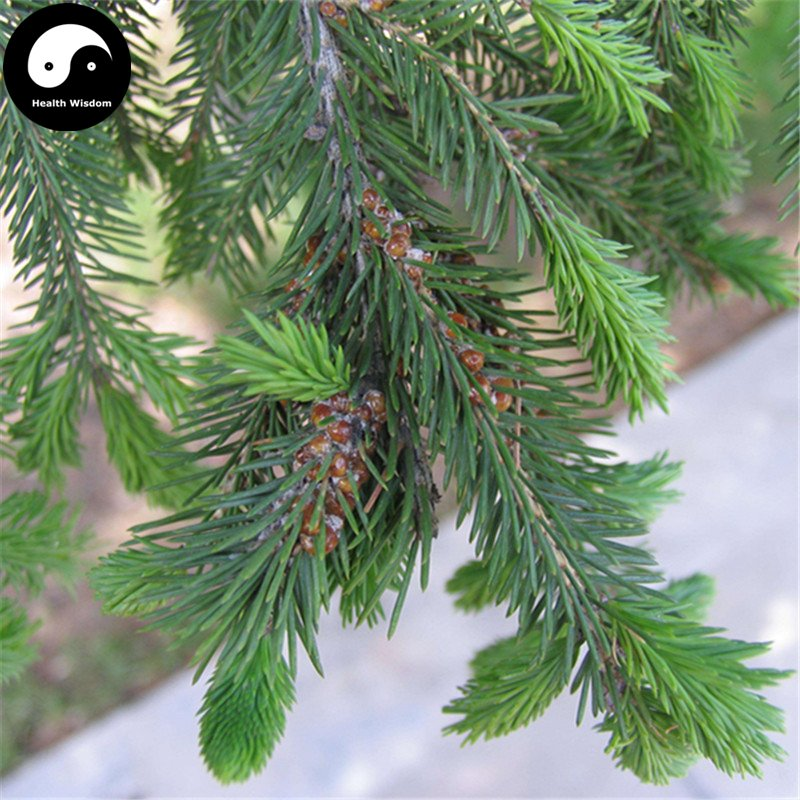 Buy Picea Asperata Fir Tree Seeds 60pcs Plant Spruce Tree Chinese Yun Shan