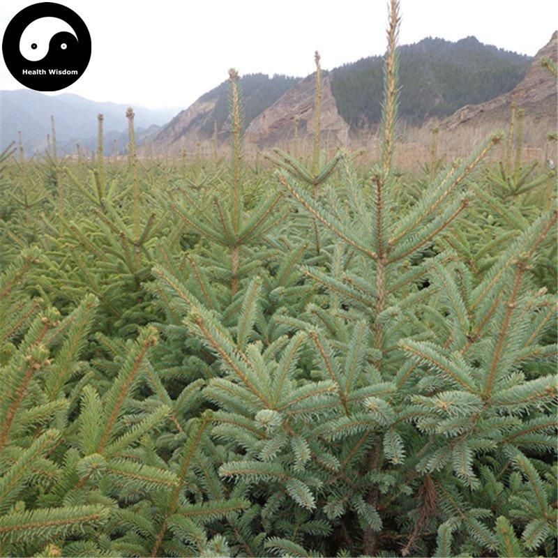 Buy Picea Asperata Fir Tree Seeds 120pcs Plant Spruce Tree Chinese Yun Shan