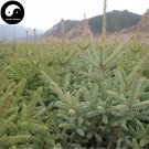 Buy Picea Asperata Fir Tree Seeds 120pcs Plant Spruce Tree Chinese Yun Shan