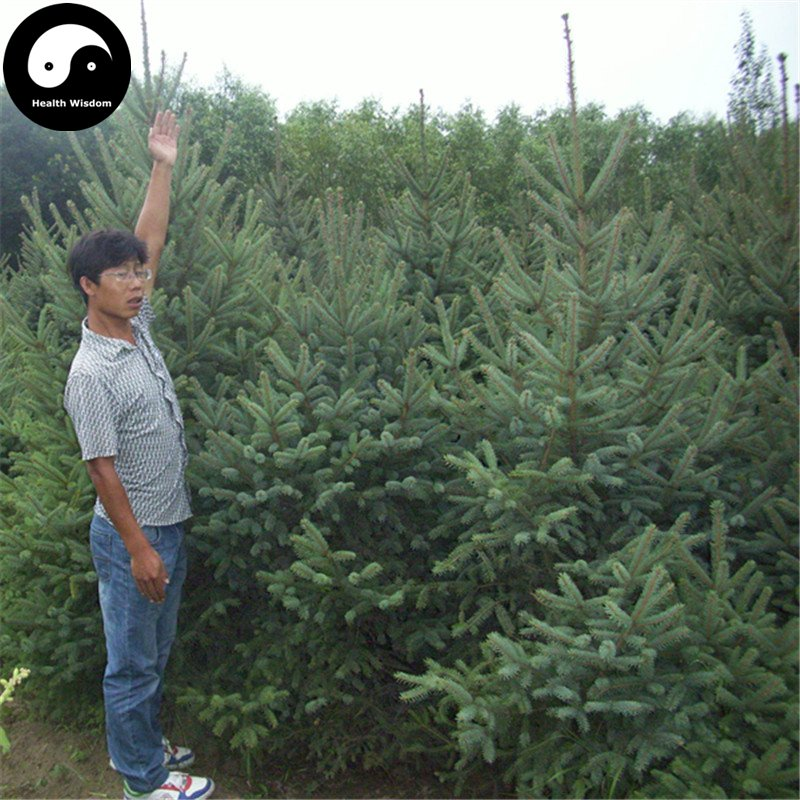 Buy Picea Asperata Fir Tree Seeds 240pcs Plant Spruce Tree Chinese Yun Shan