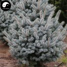 Buy Picea Pungens Fir Tree Seeds 60pcs Plant Blue Spruce Tree Chinese Lan Shan