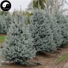 Buy Picea Pungens Fir Tree Seeds 120pcs Plant Blue Spruce Tree Chinese Lan Shan