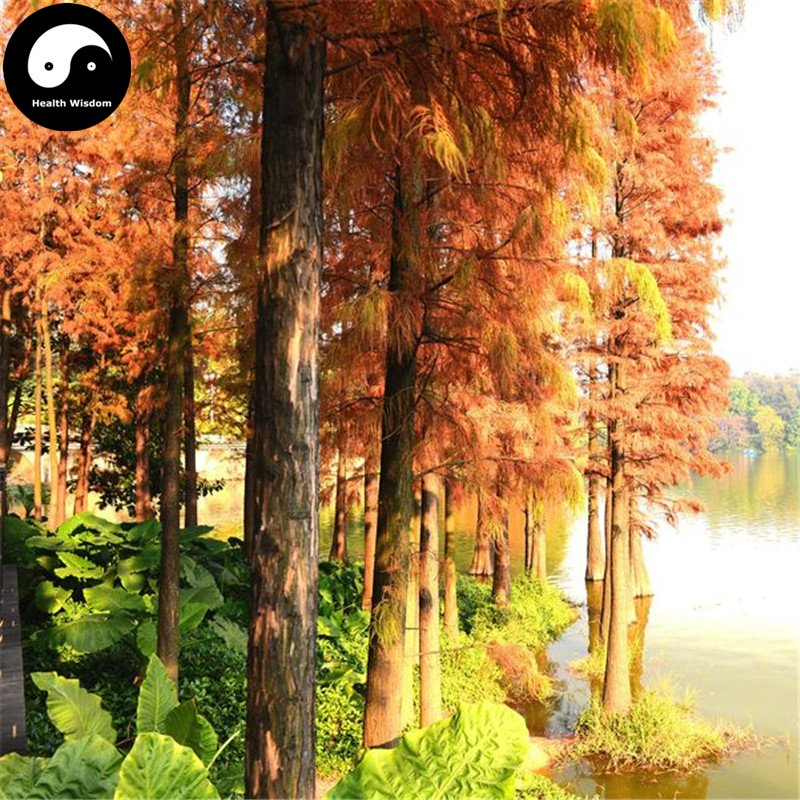 Buy Dawn Redwood Fir Tree Seeds 120pcs Plant Water Spruce Tree Chinese Shui Shan