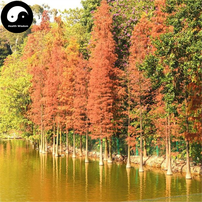 Buy Dawn Redwood Fir Tree Seeds 60pcs Plant Water Spruce Tree Chinese Shui Shan