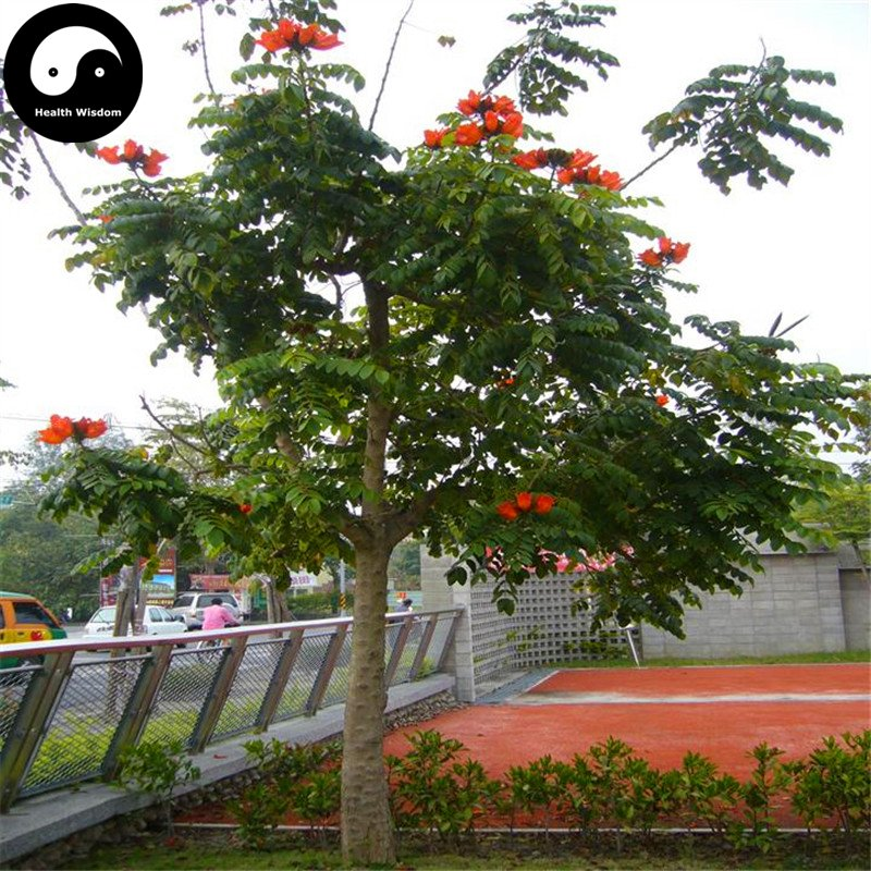 Buy Spathodea Campanulata Tree Seeds 240pcs Plant Spathodea Campanulata Tree