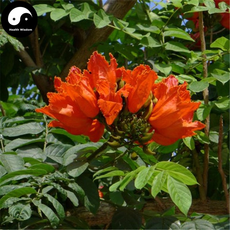 Buy Spathodea Campanulata Tree Seeds 60pcs Plant Spathodea Campanulata Tree