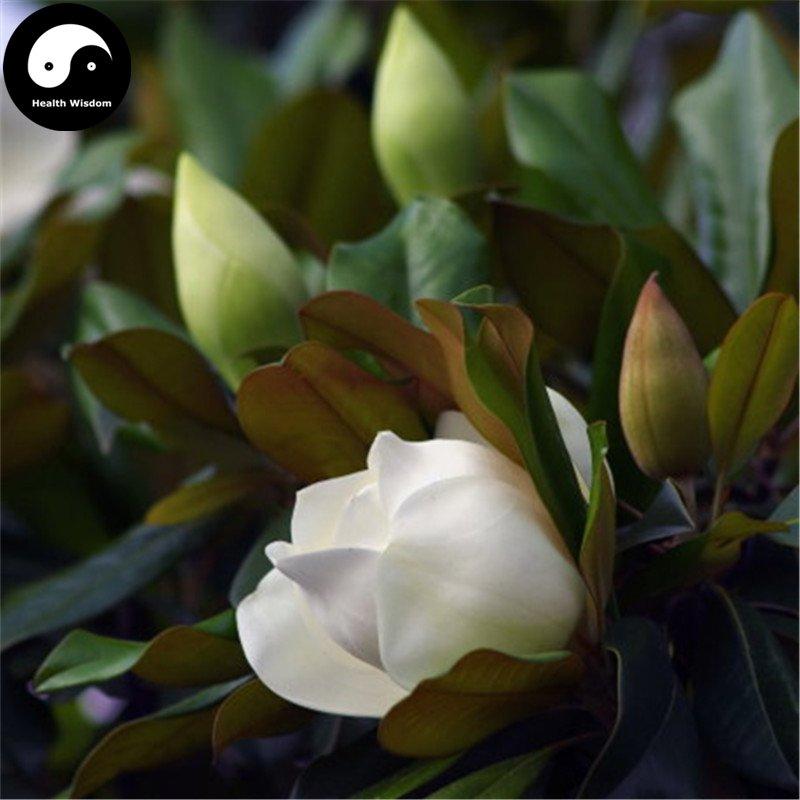 Buy Magnolia Grandiflora Tree Seeds 120pcs Plant White Magnoliaceae Guang Yu Lan
