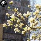 Buy Magnolia Grandiflora Tree Seed 240pcs Plant Yellow Magnoliaceae Guang Yu Lan