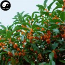 Buy Sweet Scented Osmanthus Tree Seeds 120pcs Plant Chinese Fragrance Dan Gui