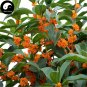 Buy Sweet Scented Osmanthus Tree Seeds 60pcs Plant Chinese Fragrance Dan Gui