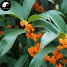 Buy Sweet Scented Osmanthus Tree Seeds 30pcs Plant Chinese Fragrance Dan Gui