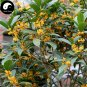 Buy Sweet Scented Osmanthus Tree Seeds 30pcs Plant Chinese Fragrance Jin Gui