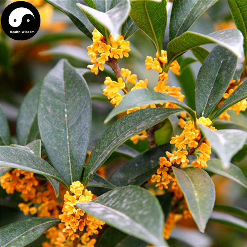Buy Sweet Scented Osmanthus Tree Seeds 120pcs Plant Chinese Fragrance Jin Gui