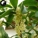 Buy Sweet Scented Osmanthus Tree Seeds 60pcs Plant Chinese Fragrance Yin Gui
