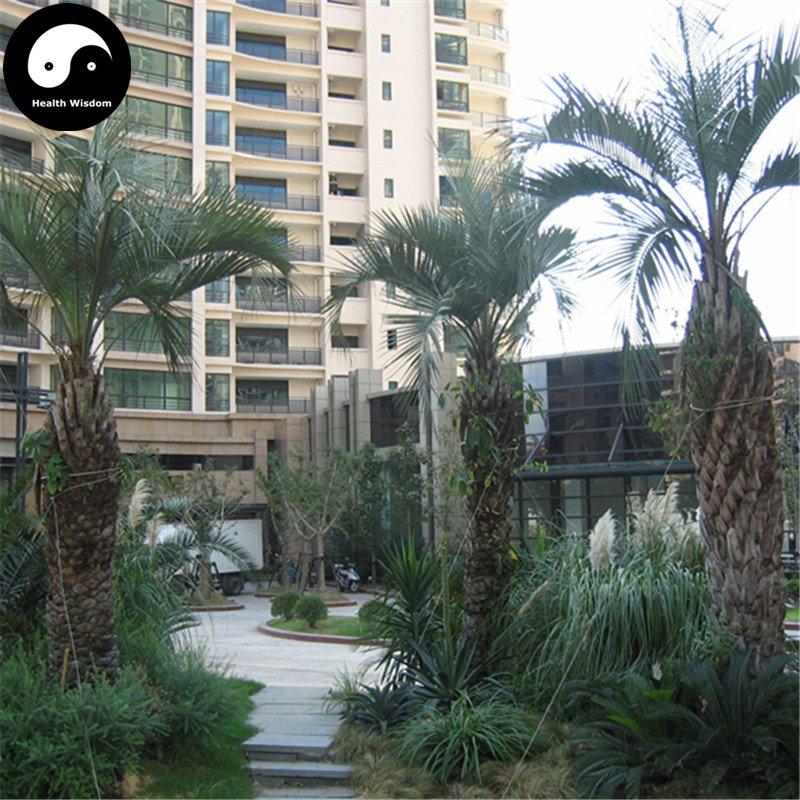 Buy Butia Capitata Tree Seeds 12pcs Plant Chinese Butia Capitata Bu Di Ye Zi