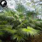 Buy Livistona Chinensis Tree Seeds 12pcs Plant Chinese Evergreen Tree Pu Kui