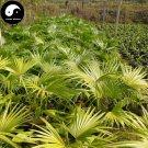 Buy Livistona Chinensis Tree Seeds 24pcs Plant Chinese Evergreen Tree Pu Kui