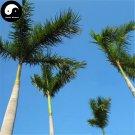 Buy Roystonea Regia Tree Seeds 40pcs Plant Chinese Evergreen Tree Da Wang Ye
