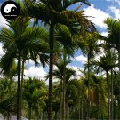 Buy Areca Catechu Tree Seeds 12pcs Plant Chinese Evergreen Tree Betel Nut