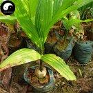 Buy Areca Catechu Tree Seeds 3pcs Plant Chinese Evergreen Tree Betel Nut