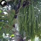 Buy Caryota Ochlandra Tree Seeds 80pcs Plant Chinese Evergreen Tree Caryota