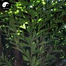 Buy Caryota Ochlandra Tree Seeds 40pcs Plant Chinese Evergreen Tree Caryota
