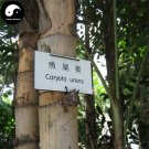 Buy Caryota Ochlandra Tree Seeds 20pcs Plant Chinese Evergreen Tree Caryota
